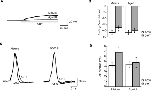 5-HT caused increased excitability in SNs of mature but not aged II Aplysia.A) Membrane potential in SNs in response to 5-HT (20 μM) perfusion onto the pleural-pedal ganglion. B) 3 min of 5-HT significantly depolarized mature but not aged II tail SNs. * denotes significant difference from ASW control at p≤0.05 via paired t-test. C) Injection of 3 ms depolarizing current evoked a single AP in tail SNs that was compared before (ASW) and after 5-HT treatment. D) AP duration increased significantly in mature but not aged II tail SNs after 3 min 5-HT. * denotes significant difference from ASW control at p≤0.05, paired t-test (n = 25 for mature, n = 23 for aged II).