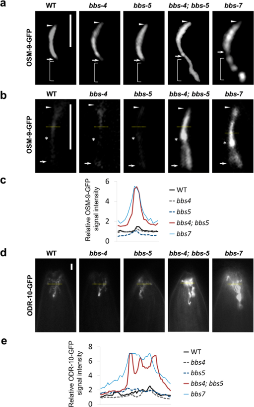 Mislocalization and accumulation of OSM-9 and ODR-10 in bbs-4; bbs-5 and bbs-7 mutant cilia.(a) OSM-9, the TRP mechanosensory receptor channel, accumulates both inside and below OLQ cilia in bbs-4; bbs-5 and bbs-7 mutants. (b) OSM-9 accumulates inside phasmid cilia in bbs-4; bbs-5 and bbs-7 mutants. (c) Relative fluorescence intensity of OSM-9-GFP in each group shown in (b) was plotted. Yellow dashed line indicates the pixels used to measure the fluorescence intensity. (d) GPCR ODR-10 accumulates inside AWA cilia in bbs-4; bbs-5 and bbs-7 mutants. (e) Relative fluorescence intensity of ODR-10-GFP in each group shown indicated as a yellow dashed line in (d) was plotted. Arrows and arrowheads indicate the base and tip of cilia, respectively. Stars note the junction of middle and distal segment. Scale bars, 5 μm.
