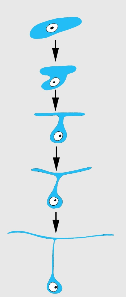 Scheme of principal mode of different cells transformation into T-shaped exopinacocytes by cell flattening parallel to sponge surface, immersion of main cytoplasmic volume of cell with the nucleus inside the ectosome, and formation of a fine cytoplasmic bridge between the apical plate and the immersed part of the cell.