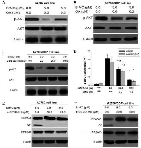 Caspase-3 regulates the phosphorylation of Akt associated with PP2A. (A and B) A2780 and A2780/DDP cells were pre-treated with indicated concentrations of okadaic acid for 1 h and exposed to BrMC for 24 h, then detected for Akt and p-Akt (Ser473) levels by western blot analysis. β-Actin was used as a control. (C) To determine the Akt phosphorylation. A2780/DDP cells were pre-treated with or without various doses of caspase 3 inhibitor z-DEVD-fmk (20 or 80 µM) for 1 h and exposed to BrMC (5 µM) for 24 h, then p-Akt (Ser473) levels were detected using western blot analysis. (D) The apoptotic rate of the A2780 and A2780/DDP cells following pre-treatment with different doses of z-DEVD-fmk. All data are depicted graphically as the mean ± standard error of the mean of at least three independent experiments. *P<0.05, **P<0.01, vs. apoptotic rate of the A2780 and A2780/DDP cells treated with BrMC (5 µm) alone; #P<0.05, vs. treatment with BrMC (5 µm) and z-DEVD-fmk (20 µm). (E and F) Detection of the binding of Akt with PP2A. Cells were incubated with or without BrMC for 48 h, 20 µM of z-DEVD-fmk was added 1 h prior to treatment with the drug. The cells were lysed with lysis buffer for immunoprecipitation with anti-Akt antibody followed by immunoblot assay with anti-PP2A/C and anti-Akt antibodies. Data are representative of at least three independent experiments. p-Akt, phosphorylated Akt; CF, cleaved form of PP2A; PP2A, protein phosphotase 2A; BrMC, 8-bromo-7-methoxychrysin; DDP, cisplatin; z-DEVD-fmk, Caspase-3 specific inhibitor Z-Asp-Glu-Val-Asp-CH2F.