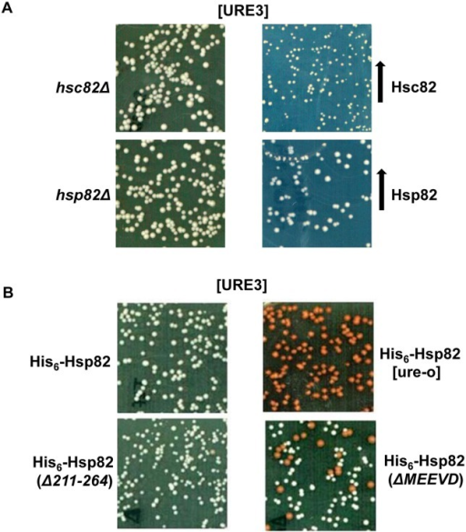 Deleting the MEEVD motif of Hsp90 destabilizes [URE3].(A) Effect of deletion and overexpression of Hsp90 on [URE3]. Hsp82Δ (SY295) or Hsc82Δ (SY297) cells grown overnight were subcultured into YPAD medium and grown from O.D.600nm of 0.02 to 1.7. Cells were then plated onto ½ YPD plates and monitored after 3 days of incubation at 30°C. For overexpression studies, SY187 was transformed with plasmid (pRS426PGPD-His6-Hsp82 or pRS426PGPD-His6-Hsc82) encoding His6-Hsp82 or His6-Hsc82 and plated onto uracil deficient solid SD medium with limiting adenine. As seen by white colony color phenotype, no adverse effect on [URE3] stability was observed upon deletion or overexpression of Hsp90 isoforms. (B) The strains constructed as described in Materials and Methods express the indicated Hsp90 isoform as the sole cytosolic Hsp90. Cells were grown from O.D.600nm of 0.02 to 1.7 before plating onto ½ YPD medium. As seen by red colony color phenotype the frequency of [ure-o] colonies increases upon deletion of MEEVD motif.