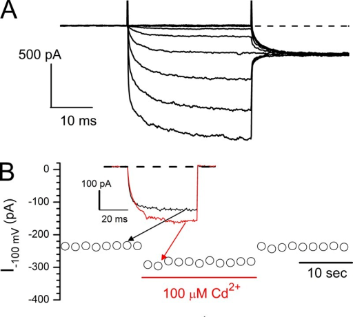 Effects of intracellular Cd2+ on the C terminus–truncated CLC-0 (CLC0-TM). (A) Current of the eYFP-tagged CLC0-TM activated by a voltage family from 60 to −160 mV in a −20-mV voltage step. Excised inside-out patch recordings. Tail voltage was −100 mV. (B) Effects of intracellular Cd2+ on the current of CLC0-TM monitored by continuously applying a voltage pulse of −100 mV (40 ms) every 2 s. Currents at the end of the −100-mV voltage step are plotted against time. 100 µM Cd2+ was applied as indicated by the horizontal red line. (Inset) Comparison of the recording traces before and after Cd2+ application. Dashed line indicates the zero-current level.