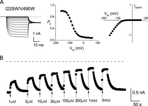 Intracellular Cd2+ inhibition of the I225W/V490W double mutant of CLC-0. (A) Original recording traces (left), steady-state voltage-dependent activation curve (middle), and the normalized steady-state I-V curve (right) of the I225W/V490W mutant. Data were from recording traces with p/4 leak subtraction. The dotted line in the left panel represents the zero-current level. (B) Effects of various intracellular [Cd2+] on the steady-state current of the I225W/V490W mutant. A test pulse of −100 mV was given every 2 s, and the current was measured at the end of the pulse to monitor the Cd2+ inhibition. Dotted line represents the zero-current level. Cd2+ of various concentrations was applied as indicated by the arrows.