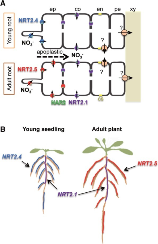 Schematic illustration summarizing the function of NRT2 transporters in Arabidopsis roots under low N availability. Spatial and temporal localization of AtNRT2.1 (NRT2.1, purple), AtNRT2.4 (NRT2.4, blue) and AtNRT2.5 (NRT2.5, red) in (A) root tissues and (B) whole root systems under low N availability. (A) The NRT2.4/NAR2 complex is localized to the outer (soil) side of the epidermal cells of the roots of young seedlings. The NRT2.5/NAR2 complex is expressed in the epidermal cells of the roots of adult plants. NRT2.4 and NRT2.5 are responsible for nitrate uptake directly from the soil. Nitrate can apoplastically penetrate toward cortex cells to be absorbed by the NRT2.1/NAR2 complex. NAR2 (AtNAR2.1) is shown as green circles. Orange circles indicate a putative high-affinity exporter involved in xylem loading of nitrate. (B) NRT2.1 is strongly expressed in the older part of the root system, while NRT2.4 and NRT2.5 are preferentially expressed in the younger part of the roots of young seedlings and adult plants, respectively. ep, epidermis; co, cortex; en, endodermis; pe, pericycle; xy, xylem; cs, casparian strip