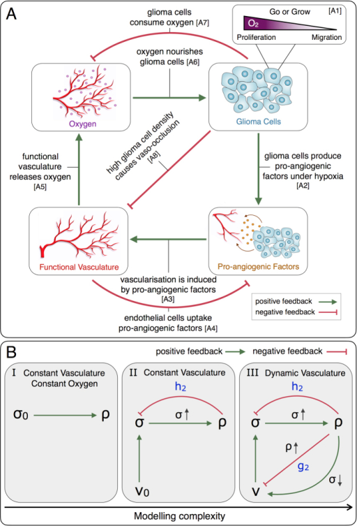 Modelling logic and hierarchy.(A) Diagram of the interactions between glioma cells, oxygen availability, functional tumour vasculature and pro-angiogenic factors. (B) From left to right model complexity increases with respect to the interactions between system variables: density of glioma cells ρ(x, t), density of functional tumour vasculature v(x, t) and oxygen concentration σ(x, t). The parameters σ0 and v0 represent constant oxygen concentration and functional tumour vascularisation, respectively. The parameters h2 and g2 are the glioma cell oxygen consumption and vaso-occlusion rates, respectively (see equations (12)–(13).
