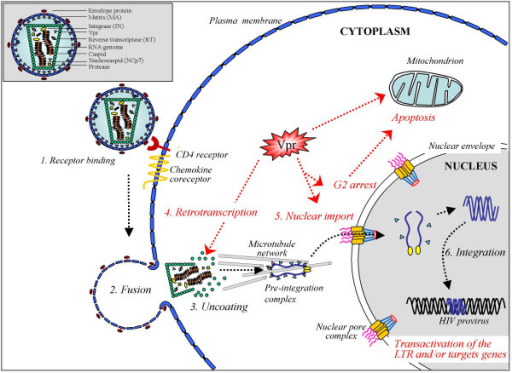 Schematic view of the early steps of the HIV-1 infectio | Open-i