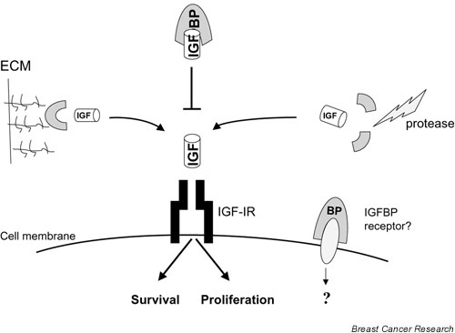 The interplay between insulin-like growth factor (IGF) and insulin-like growth factor binding proteins (IGFBPs). Interactions between IGF and IGFBPs can reduce free IGF levels, decreasing insulin-like growth factor receptor (IGF-IR) activation and inhibiting cellular response. Associations of IGFBPs with extracellular matrix (ECM) components can reduce the affinity of IGFBP for IGFs, thereby releasing bioactive IGF. The actions of proteases can also increase free IGF levels, since IGFBP fragments have reduced affinity for IGFs. IGFBPs may have direct effects mediated by as yet uncharacterized IGFBP receptors.