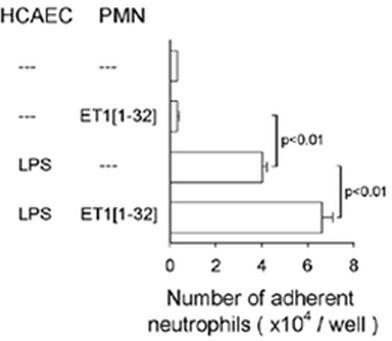 ET-1[1-32] enhances adhesion of neutrophils (PMN) to monolayers of human coronary artery endothelial cells (HCAEC). HCAEC were incubated with LPS (1 μg/ml) for 4 h, washed and PMN without or together with ET-1[1-32] (30 nM) were then added for 30 min at 37°C. Values are means ± SEM (n=5).