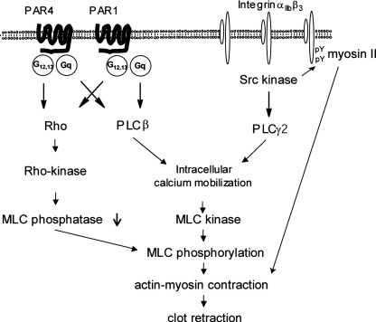 Multiple mechanisms of regulation of the contractile apparatus underlie clot retraction. Thrombin receptors are able to regulate clot retraction through activation of PLCβ and Rho kinase. αIIbβ3 outside-in signalling is required for optimal clot retraction through bifurcating signals, namely activation of PLCγ2 and phosphorylation of the diY motif, which combine to mediate clot retraction. This interaction could occur by recruitment of myosin to the phosphorylated diY motif in combination of activation of MLC kinase downstream of PLCγ2.