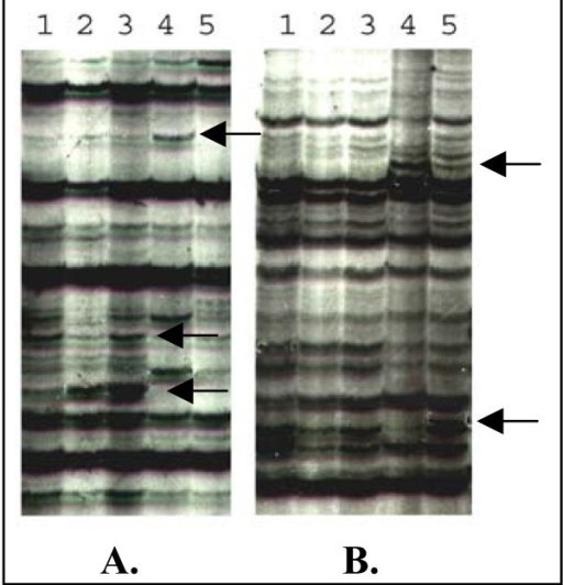 Azucena (A.) and IR64 (B.) cDNA-AFLP display from non-stressed leaves (lane 1), wounded leaves (lane 2), and RYMV inoculated leaves harvested at 3 dpi for Azucena/2 dpi for IR64 (lane 3), 5 dpi (lane 4) and 7 dpi (lane 5). This five lanes set represented amplification by one particular primer combination. Arrows represented differential bands.
