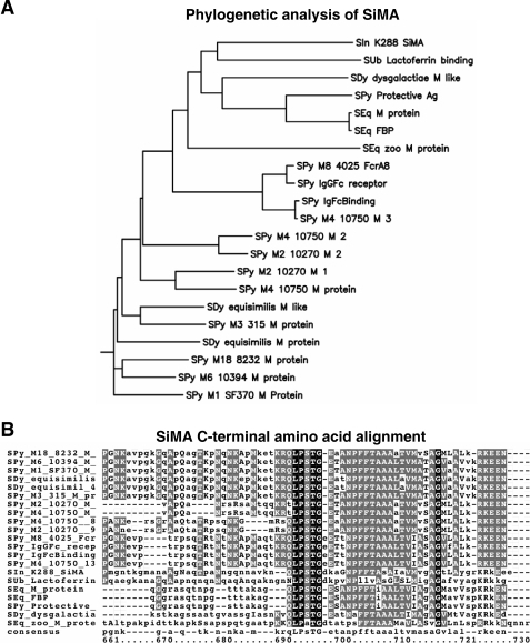 Bioinformatic analysis of SiMA.(A) Phylogenetic clustering of SiMA shows greatest similarity to other streptococcal M family proteins, most closely the S. uberis lactoferrin binding protein. (B) Amino acid sequence alignments of SiMA with other streptococcal M family proteins shows highest conservation in the C-terminal region which includes the LPXTG surface anchor motif. Strain abbreviations: SIn–S. iniae, SPy–S. pyogenes, SUb–S. uberis, SEq–S. equi, and SDy–S. dysgalactiae.