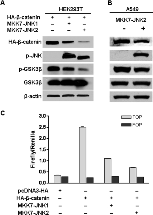 Active JNK2 downregulated β-catenin expression, inhibited its transcriptional activity and reduced GSK3β phosphorylation.(A) Active JNK2 suppressed β-catenin expression and GSK3β phosphorylation in HEK293T cells. HEK293T cells were transfected with pcDNA3-HA-β-catenin together with pcDNA3-Flag-MKK7-JNK1 or pcDNA3-Flag-MKK7-JNK2. Forty-eight hours after transfection, cells were harvested for immunoblotting analysis to detect the alterations of HA-β-catenin, p-JNK, p-c-Jun, phospho-Ser9 GSK3β, and GSK3β. β-actin served as loading control. (B) Active JNK2 reduced GSK3β phosphorylation and downregulated β-catenin expression in human lung cancer cell line A549. A549 cells were co-transfected with pcDNA3-HA-β-catenin and pcDNA3-Flag-MKK7-JNK2. Forty-eight hours after transfection, cells were harvested for immunoblotting analysis to detect the alterations of β-catenin, p-JNK, and phospho-Ser9 GSK3β. β-actin served as loading control. (C) Active JNK inhibited β-catenin-mediated transcriptional activity of TCF. HEK293T cells were co-transfected with pcDNA3-Flag-MKK7-JNK1 or pcDNA3-Flag-MKK7-JNK2, pcDNA3-HA-β-catenin, TOPFLASH (TOP) or FOPFLASH (FOP), and Renilla. 48 h after transfection, cells were harvested for luciferase activity assay. Each bar represents the mean ± standard deviation (SD) for triplicated samples.