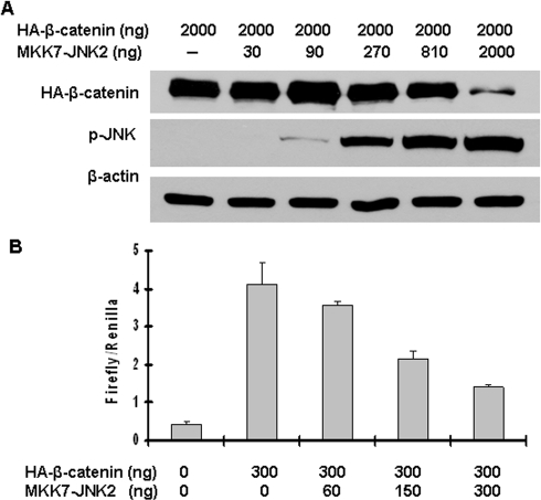 Active JNK2 downregulated β-catenin expression and inhibited its transcriptional activity in a dose-dependent manner.(A) Activated JNK2 reduced β-catenin protein level in a dose-dependent manner. HEK293T cells were co-transfected with pcDNA3-HA-β-catenin along with different amounts of pcDNA3-Flag-MKK7-JNK2, as indicated. Forty-eight hours after transfection, cells were harvested for immunoblotting analysis to detect the alterations of HA-β-catenin and p-JNK. β-actin served as loading control. (B) Activated JNK2 inhibited β-catenin-mediated transcriptional activity of TCF in a dose-dependent manner. HEK293T cells were co-transfected with pcDNA3-HA-β-catenin, TOPFLASH, Renilla, along with different amounts of pcDNA3-Flag-MKK7-JNK2, as indicated. Forty-eight hours after transfection, cells were harvested for luciferase activity assay. Each bar represents the mean ± standard deviation (SD) for triplicated samples.