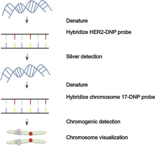 Conceptual schematic demonstrating dual detection of HER2 and chromosome 17 by bright field double in situ hybridisation. By this technique, dual detection can be accomplished using individual single haptens. The two probes are incompatible and two rounds of target DNA denaturation, hybridisation and stringency washes are carried out sequentially. DNP, dinitrophenol.