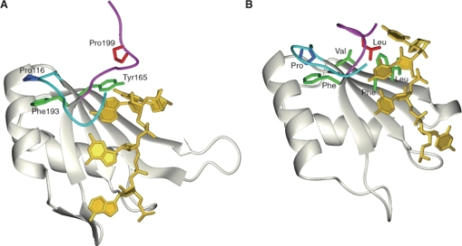 Comparison of ribbon representations of the hTra2-β RRM in complex with [5′-(GAAGAA)-3′] RNA (A); and the first RRM domain of poly pyrimidine-tract binding protein (PTBP RRM1) (PDBID: 2AD9) (B). In both structures, the N-terminal extension is colored cyan (the side-chain of the Pro residue in the N-terminal extension is depicted in blue), and the C-terminal extension is colored magenta (the side chain of Pro199 of the hTra2-β RRM, and the Leu residue of the PTBP RRM1 in the C-terminal extension are depicted in red). The side chain of the aromatic ring residue located at the end of the β4 strand and the side chains interacting with the residue in the C-terminal extension on the β-sheet surface are depicted in green. The RNA molecule is shown in gold.