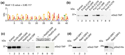 Gis2p preferentially binds to coding sequences that bear GAN repeats. (a) Conserved sequence element in the ORF of Gis2p targets identified with MEME. The E-value reflects the probability to detect the motif by chance. (b) RNA-protein complexes formed between biotinylated RNA fragments and Gis2-TAP were purified on streptavidin beads and monitored by immunoblot analysis. Representative experiments from at least three biological replicates are shown. Biotin labeled fragments comprising the 5'-UTRs (lanes 2 and 5), ORFs (lanes 3 and 6), and 3'-UTRs (lanes 4 and 7) of Erv25 and Fcy1 were incubated with extracts of Gis2-TAP expressing cells (lane 1). Eno2-5'UTR (lane 8) is a negative control RNA derived from the 'non-target' ENO2 (lane 8) and a sample without RNA (lane 9) was used to control for RNA-independent binding to the beads. (c) RNA pull-downs with RNA fragments derived from NOP53. Nop53-GAN (lanes 3 and 7 to 9) contains a GAN-rich sequence element whereas the similarly sized fragment Nop53-ctrl does not (lanes 4 and 10). Erv25-ORF (lane 2) and Eno2-ORF (lane 5) are positive and negative control RNAs, respectively. Binding of Gis2-TAP to Nop53-GAN was competed with a ten-fold excess of non-biotinylated Nop53-GAN (lane 8) but not with excess of Nop53-ctrl (lane 9). (d) RNA pull-downs with two fragments derived from the RAS2 ORF. Biotinylated RNAs were incubated with extracts from yeast cells expressing Gis2-TAP (eGis2-TAP, lanes 1 to 3) or with Gis2-His expressed and purified from Escherichia coli (pGis2-His, lanes 4 and 5). A fragment derived from the ORF of SNF5 was used as a negative control RNA (lane 3).