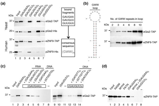 Gis2p and ZNF9 bind specifically to GWW repeats in RNA and to G-rich sequences in ssDNA. RNA-protein complexes formed between biotinylated RNAs and yeast extracts expressing Gis2-TAP or ZNF9-TAP (eGis2/eZNF9) or recombinant Gis2-His or ZNF9-His purified from E. coli (pGis2/pZNF9) were captured with streptavidin beads and visualized by immunoblot analysis with specific antibodies detecting the TAP or His tag. Representative experiments from at least three biological replicates are shown. (a) RNA pull-downs with short biotinylated RNAs bearing different nucleotide triplet repeats (lanes 2 to 7). The consensus sequence for protein-RNA interaction is depicted on the right. (b) Testing different sizes of GWW loops for interaction with Gis2p/ZNF9 (lanes 1 to 6). The predicted stem-loop structure with varying sizes of GWW-loops is shown to the left. (c) RNA pull-downs after the addition of ten-fold excess of non-labeled competitor RNA (lanes 3 to 5) or ssDNA (lanes 6, 7, and 12 to 14). No RNA was added to control for unspecific binding of proteins to the beads (lanes 8 and 11). (d) Binding ZNF9 to human RNAs containing at least three GWW repeats in the coding region (lanes 2 to 4). (GAUGAA)5 was used as positive control (lane 5), and (GAUGCU)5 as negative control (lane 7). Binding of ZNF9 to MYH4 RNA was efficiently competed with ten-fold excess of unlabeled (GAUGAA)5 RNA (lane 6). A reaction without RNA is shown in lane 8.