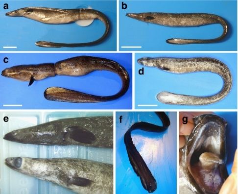 Spawning-condition adult freshwater eels.(a) Female Japanese eel, Anguilla japonica, 749 mm in length with unfertilized eggs that flowed out of the genital pore after collection (dish in photo). Scale bar, 50 mm. (b) Male A. japonica (447 mm). Scale bar, 50 mm. (c) Female giant mottled eel Anguilla marmorata (1,223 mm). Scale bar, 100 mm. (d) Male A. marmorata (457 mm). Scale bar, 50 mm. (e) Comparison of the anterior part of the bodies of male A. japonica (top: 585 mm) and the A. marmorata in (d) (bottom) that were caught together in the same net, showing a greater enlargement of the eyes in A. marmorata than in A. japonica. (f) Tail part of a male A. japonica (471 mm) that was still in good condition for swimming despite its very thin body. (g) Degenerated teeth of the upper jaw of the female A. marmorata in (c).