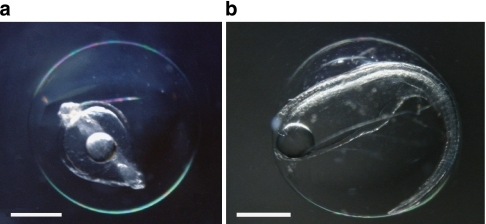 Naturally spawned eggs of the Japanese eel Anguilla japonica.(a) Early-mid embryonic stage egg collected on 22 May 2009 near the West Mariana Ridge in the western North Pacific. (b) Late embryonic stage egg just before hatching collected on 23 May 2009 in the same area (Supplementary Fig. S2). Scale bars, 0.5 mm.