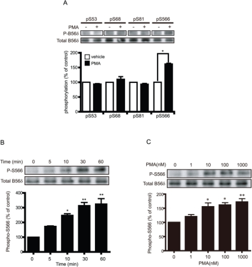 The PKC activator PMA increases phosphorylation of B56δ at Ser566.(A) N2a cells expressing FLAG-B56δ subunit were treated with DMSO (vehicle) or PMA (5 nM) for 5 min. Cells were lysed and proteins were analyzed by SDS-PAGE and immunoblotting with phospho-specific antibodies to the indicated sites in B56δ. Total B56δ was analyzed with anti-FLAG antibody. Upper panels show immunoblots. The bar graph shows quantification of immunoblot data normalized in each experiment to vehicle for each site as means ± s.e.m. (n = 3). *, P<0.001 compared with vehicle-treated control by student's t-test. (B) N2a cells expressing FLAG-B56δ were treated with different concentrations of PMA (0, 1, 10, 100, 1000 nM) for 5 min. Phosphorylation of Ser566 and total B56δ was assayed as in (A). The bar graph shows quantification of data normalized in each experiment to the zero PMA condition as means ± s.e.m. (n = 3). *, P<0.05, **, P<0.01 compared with vehicle-treated control by student's t-test. (C) N2a cells expressing FLAG-B56δ were treated with 5 nM PMA for the indicated times. Phosphorylation of Ser566 and total B56δ was assayed as in (A). The bar graph shows quantification of data normalized in each experiment to the zero time condition as means ± s.e.m. (n = 3). *, P<0.01, **, P<0.001 compared with vehicle treated control by student's t-test.