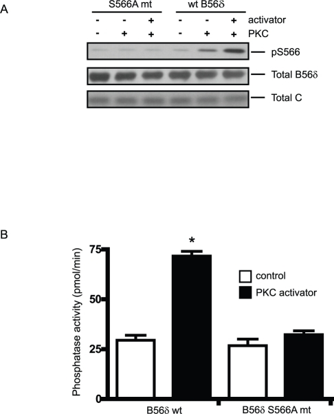 PKC activates PP2A/B56δ in vitro.FLAG-B56δ wt or FLAG-B56δ S566A mutant were expressed in N2a cells and active heterotrimeric complexes were immunoprecipitated from cell lysates using anti-FLAG antibody. Immunoprecipitated PP2A was mixed with purified PKC without (control) or with PKC activators (0.1 mg/ml phosphatidylserine, 0.02 mg/ml diacylglycerol, 0.2 mM CaCl2) and Mg ATP for 10 min. (A). Phosphorylation at Ser566 of B56δ was assessed by immunoblotting using anti-phospho-Ser566 antibody. As a loading control, total B56δ subunit and co-immunoprecipitated PP2A C subunit were assessed by immunoblotting. (B). Immobilized PP2A was suspended in phosphatase assay buffer then PP2A activity was measured using a phospho-peptide substrate (Promega, 5 min assay). Phosphatase activity is shown as means ± s.e.m. (n = 3). *, P<0.001, compared with no PKC activator control by student's t-test.