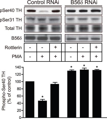PMA-dependent dephosphorylation of Ser40 in tyrosine hyroxylase is inhibited by down-regulation of B56δ.N27 cells were infected with either AAV-control RNAi or AAV-B56δ RNAi for 48 h. N27 cells were then pretreated with either vehicle or rottlerin (5 µM) for 30 min, then treated with PMA (10 nM) for 10 min as indicated. Phosphorylation of Ser40 and Ser31 of tyrosine hyroxylase was measured as above. B56δ levels were measured by immunoblotting. The bar graph shows quantification of immunoblot data normalized in each experiment to control as means ± s.e.m. (n = 3). *, P<0.001 compared with vehicle-treated control by one-way ANOVA with Newman-Keuls multiple comparison test.