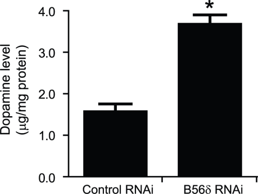 Dopamine synthesis in N27 cells is increased following down-regulation of B56δ.N27 cells were infected with AAV-control RNAi or AAV- B56δ RNAi for 72 h. Dopamine was measured in cell lysates by LC/MS with tritium labeled DA as a standard. Data are shown as means ± s.e.m. (n = 3). *, P<0.01 compared with control RNAi infected cells by student's t-test.