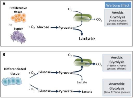 Schematics of oxidative phosphorylation anaerobic glyc open i schematics of oxidative phosphorylation anaerobic glycolysis and aerobic glycolysisa to ccuart Image collections