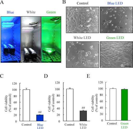 The effects of blue, white, and green LED lights on the cell viability.(A) The exposure of blue, white, and green LED light to cells cultured in a 96-well plate. (B) The observation of cell morphology using bright field microscopy, showing blue LED light caused the morphological changes compared with the control. Green LED light did not change the cells. (C–E) The quantitative evaluation of cell viability by the CCK-8 assay. This result is consistent with the observed change in cell morphology. Cell viability was reduced by blue and white LED light exposure, but not green LED light. The scale bar represents 50 μm. Data are expressed as mean ± SEM (n = 6). ## indicates p < 0.01 vs. control (ANOVA).