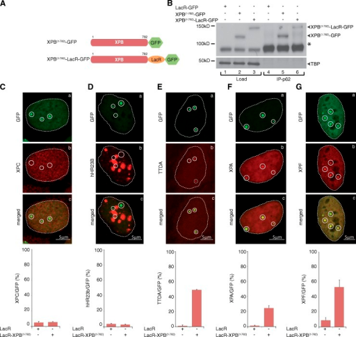 Tethering XPB to chromatin triggers the recruitment of downstream NER factors. (A) Schematic representation of XPB(1–782)-LacR-GFP and XPB(1–782)-GFP. For clarity, the sizes of the GFP (238 aa) and LacR (367 aa) were omitted. (B, lanes 1–3) Proteins from whole cell extracts (15 µg) of U2OS17-expressing XPB proteins were resolved by SDS-PAGE followed by Western blotting using anti-XPB antibodies. (lanes 4–6) TFIIH from 300 µg of U2OS17 extracts was immunoprecipitated with an anti-p62 antibody and resolved by SDS-PAGE followed by Western blotting with an anti-XPB antibody. The asterisk indicates the endogenous XPB. (C–G) Recruitment of XPC (C), hHR23b (D), RFP-TTDA (E), Flag-XPA (F), and HA-XPF (G; Su et al., 2012) to tethered XPB-LacR-GFP (a–c). The values on the graphs represent the percentage of colocalization of each NER factor with GFP on the array based on three independent experiments with SD. Circles indicate LacO arrays.