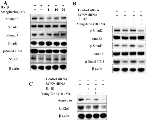 Effects of mangiferin on the phosphorylation of the Smad and SOX9 signaling pathways in IL-1β-stimulated mesenchymal stem cells (MSCs). (A) Mangiferin upregulates the phosphorylation of Smad 2, Smad 3, Smad 1/5/8, and the SOX9 signaling pathways. MSCs were prestimulated with IL-1β (5 ng/mL) for 1 h and then treated with the indicated dose of mangiferin for 72 h. Whole cell lysates were subjected to Western blotting with the indicated antibodies; (B,C) SOX9 deficiency inhibits the phosphorylation of Smad 2, Smad 3, Smad 1/5/8, aggrecan, and Col2α1. β-actin served as an internal control. MSCs were transfected with control siRNA or SOX9 siRNA and then treated with or without mangiferin for 72 h. Whole cell lysates were subjected to Western blotting with the indicated antibodies. siRNA targeting SOX9 was transfected into two different experiments.