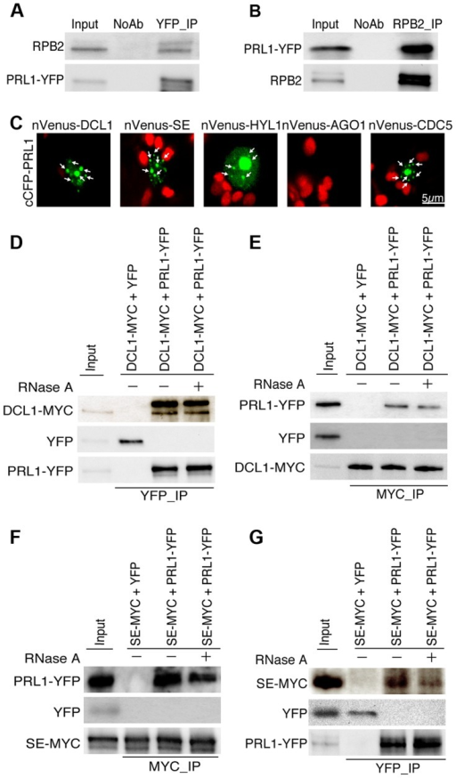 PRL1 associates with the Pol II and DCL1 complexes.(A) and (B) Co-immunoprecipitation (Co-IP) between PRL1 and Pol II. Protein extracts from transgenic plants containing PRL1-YFP were incubated with Anti-YFP or anti-RPB2 antibodies to precipitate PRL1-YFP or Pol II. PRL1-YFP and RBP2 were detected with western blot and labeled on the left side of the picture. Ten percent of input proteins were used for IP and one percent of input proteins were used for Co-IP. (C) BiFC analysis of PRL1 with DCL1, HYL1, SE, AGO1 and CDC5. Paired cCFP- and nVenus-fusion proteins were co-infiltrated into N. benthamiana leaves. The BiFC signal (Yellow fluorescence) was detected at 48 h after infiltration by confocal microscopy, assigned as green color and marked with arrow. 30 nuclei were examined for each pair and an image is shown. Red: auto fluorescence of chlorophyll. (D) and (E) Co-immunoprecipitation between PRL1 and DCL1. (F) and (G) Co-immunoprecipitation between PRL1 and SE. PRL1-YFP or YFP were co-expressed with DCL1-MYC and SE-MYC in N. benthamiana, respectively. Anti-YFP and anti-MYC (MBL) antibodies were used to detect YFP- and MYC-fused proteins, respectively. The protein pairs in the protein extracts were indicated on the on tope of the picture and proteins detected by western blot were indicated on the left side of the picture. Ten percent of input proteins were used for IP and one percent of inputs proteins were used for Co-IP.