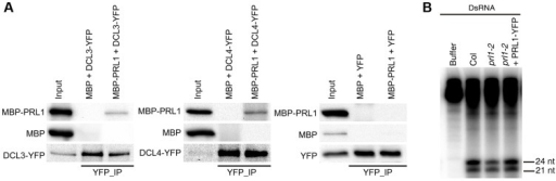 The role of PRL1 in siRNA biogenesis.(A) PRL1 interacts with DCL3 and DCL4. Co-IP was performed to detect the interaction of PRL1 with DCL3 or DCL4. MBP and MBP-PRL1 fused protein were expressed in E.coli. YFP, DCL3-YFP and DCL4-YFP were expressed in N. benthamiana leaves. Anti-YFP was used for IP. For loading, ten percent and one percent of input proteins were used for IP and Co-IP, respectively. (B) prl1-2 impairs siRNA production from double-stranded RNAs (dsRNAs). Protein extracts isolated from inflorescences of Col, prl1-2 and prl1-2 containing a PRL1-YFP transgene were incubated dsRNAs for 120 min. dsRNAs were synthesized through in vitro transcription of a DNA fragment (5′ portion of UBQ5 gene, ∼460 bp) under the presence of [α-32P] UTP.