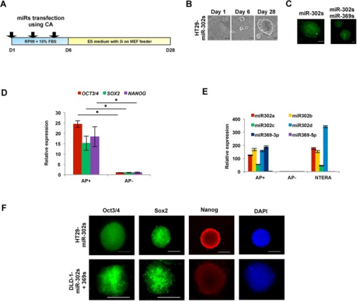Characteristics of colon cancer cells upon reprogramming induced by miR-302s or miR-302s plus miR-369s.A) Scheme of cancer reprogramming methods by transfection of miR-302s or miR-302s plus miR-369s. B) miR-302s-induced morphological changes in HT29 cells at days 1, 6, and 28. Reprogrammed HT29 have an embryonic stem cells-like appearance. Scale bars, 100 μm. C) Cells stained using alkaline phosphatase (AP) live stain. Scale bars, 100 μm. D) Relative expression of OCT3/4, SOX2 and NANOG compared to AP− cells by qRT-PCR (n = 3). E) Relative expression of miR-302s and miR-369s in AP+, AP−, and NTERA cells. Mean expression of each miR was compared to that in NTERA cells (n = 3). F) Immunofluorescence of pluripotent stem cell markers Oct3/4, Sox2, and Nanog. Nuclei were stained with DAPI. Scale bars, 100 μm (original magnification, ×200).