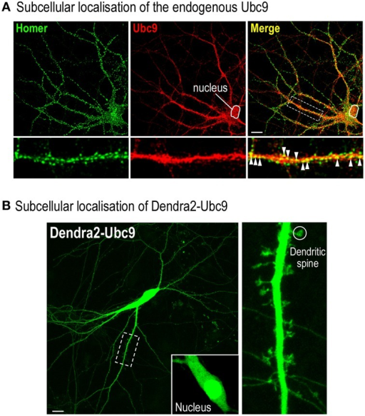 Assessing the potential deleterious effect of the Dendra2 protein tagging. (A) Representative distribution of the endogenously expressed Ubc9 in a 20 DIV rat hippocampal neuron. Fixed cells were permeabilised for 20 min at RT in PBS containing 0.1% Triton X100 and 10% Horse Serum (HS). Neurons were then immunolabelled with mouse anti-Ubc9 (1/50, BD Bioscience) and rabbit anti-Homer1 (1/200; Synaptic System, Germany) antibodies overnight at 4°C in PBS containing 0.05% Triton X100 and 5% HS. Cells were washed three times in PBS and incubated with the appropriate secondary antibodies conjugated to either Alexa488 (post-synaptic Homer staining) or Alexa594 (endogenous Ubc9) in PBS containing 5% HS with 0.05% Triton X100 for 1 h at RT. Merge color (yellow) shows the colocalisation between the proteins indicating that part of Ubc9 is expressed at Homer-positive post-synaptic sites (arrowheads). Note that, as expected, a significant proportion of Ubc9 immunoreactivity is present in the nucleus. Scale bar, 20 μm. (B) Representative image of a 20 DIV Dendra2-Ubc9-expressing rat hippocampal neuron. Note that Dendra2-Ubc9 is partly localized in the nucleus (inset) indicating that the Dendra2 tag does not impair its nuclear translocation. Dendra2-Ubc9 fluorescence is also distributed in dendrites and spines (circle). Scale bar, 20 μm.