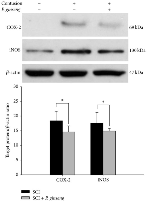 Effect of P. ginseng (1 mg/kg) on the COX-2 and iNOS expression. Western blot analysis of extracts of spinal cord tissue collected on 2 days after injury. P. ginseng treatment reduced COX-2 and iNOS levels.