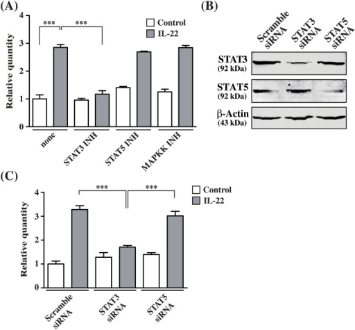 STAT3 knockdown abolishes IL-22-induced SLURP1 induction in NHEKs.(A) NHEKs were incubated for 24 h with IL-22 (50 ng/ml) in the presence or absence of the MAP kinase kinase inhibitor PD98059 (30 μM), the STAT3 inhibitor S3I-201 (50 μM) or the STAT5 inhibitor 573108 (100) μM), after which SLURP1 expression was analyzed using real-time PCR. As a control, 0.1% (v/v) DMSO was used. Bars depict the mean ± S.D. (n = 6). (B, C) NHEKs were transfected with 100 nM scrambled control, STAT3 or STAT5 siRNA. After incubating the transfectants for 48 h, IL-22 was added to a final concentration of 50 ng/ml, and the cells were harvested 24 h later. (B) Cell lysates (30 μg of total protein/lane) were subjected to SDS-PAGE, and immunoblots were probed with anti-STAT3, anti-STAT5 or anti-β-actin antibody. The experiments were repeated six times with similar results. (C) Quantitative real-time PCR analysis of SLURP1 mRNA. Bars depict the mean ± S.D. (n = 6). ***p < 0.001 (one-way ANOVA).