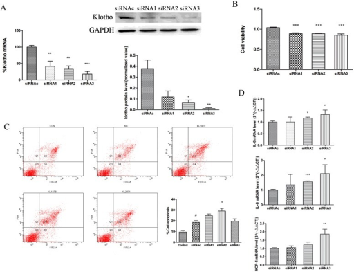 Klotho knockdown modulates epithelial cell survival and inflammatory gene expression(A) Transfection of 16HBE cells with KL siRNAs (siRNA1–siRNA3) significantly down-regulated KL protein and mRNA expression at 24 h compared with control siRNA (siRNAc) treatment. (B) CCK-8 staining shows that KL knockdown slightly, but significantly, reduced cell viability compared with control siRNA. (C) KL-directed siRNAs (siRNA1–siRNA3) induced apoptosis 24 h after transfection as determined by flow cytometry. Representative scatter plots of untreated control cells (CON), siRNAc-treated cells (NC) and siRNA1–siRNA3-treated cells (KL1019, KL1278 and KL2071) are shown. Results in the histogram are means±S.E.M. for three independent experiments. #P<0.05 compared with the control group, *P<0.05 compared with control siRNAc. (D) IL6, MCP1 and IL8 mRNA expression significantly increased after KL knockdown. Results are means±S.E.M. from three independent experiments. (*P<0.05, **P<0.01, ***P<0.001).