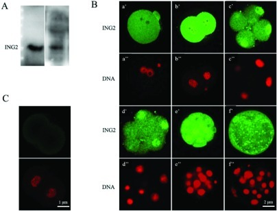 (A) Western blot with the anti–ING2 antibody showed only one distinct band at the predicted molecular weight of ING2 protein (33 kD), for both the mouse ovary and 4-cell embryo. (B) Immunofluorescence staining of ING2 and nuclear DNA in preimplantation embryos with specific anti-ING2 antibody (green, a′–f′) and propidium iodide (red, a′′–f′′) respectively. zygote, approximately 21 h after human chorionic gonadotropin (HCG) injection (a′, a′′); 2-cell embryo, approximately 45 h after HCG injection (b′, b′′); 4- to 8-cell embryo, approximately 58 h after HCG injection (c′, c′′, d′, d′′); morula, approximately 78 h after HCG injection (e,′ e′′) and blastocyst, approximately 96 h after HCG injection (f′, f′′). Scale bar: 2 μm. (C) Unstained 2-cell embryo was utilized as the negative control. Scale bar: 1 μm.