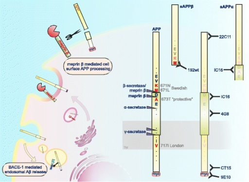 "Schematic representation of the proteolytic cleavage of APP by meprin β. We found molecular interaction of APP and the metalloprotease meprin β in the secretory pathway and at the cell surface. On the right site, specific antibodies for APP/APP fragments and their epitopes are marked. Note that the neo-epitope 192wt antibody only recognizes ""full-length"" sAPPβ having methionine at the C-terminus, while the shorter sAPPβ starting with lysine produced via meprin β cleavage cannot be detected"