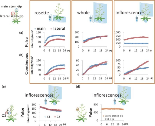 Time-course analysis of 14C-labeled metabolites. Time course of signal intensity of 14C in ROI: main and lateral stem tip from rosette, whole shoots and inflorescences with (a) 14CO2 pulse–chase experiments and (b) 14CO2 continuous experiments. (c) Time course of signal intensity of 14C in two ROIs set on the cauline leaves (C1 and C2) in the sequential images in (a). (d) Time course of total signal intensity of 14C in three ROIs set on the cauline leaves and lateral stem tip in the sequential images in (a).