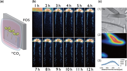 Visualization of the downward movement of 14C-labeled metabolites from leaves to roots. (a) Schematic of the photography method. Test plants were covered with a polyethylene bag for supply of 14CO2. (b) Serial images of 14C-labeled metabolite movement taken by macro-RRIS. Scale bar = 10 mm. (c) Micro-RRIS image of 14C-labeled metabolites in the root (root tip, maturation area and lateral root), 14C-labeled metabolite image and distribution profile of 14C-labeled metabolites. Scale bar = 100 µm.