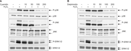 MAPKs activation was assessed using western blot analyses. Western blot analyses demonstrated that expressions of phosphorylations of p38, JNK, and ERK were higher in the H2O2 group than in the control. Those expressions were lower in the cyanidin-H2O2 and delphinidin-H2O2 subgroups than in the H2O2 group.
