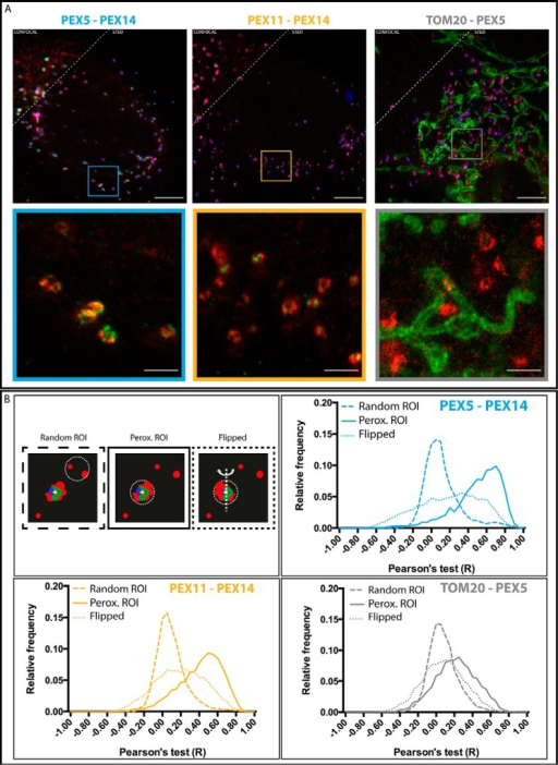 Colocalization study of proteins at peroxisomes.A, representative confocal (upper left) and STED (lower right) images of fibroblast cells transfected with the peroxisomal matrix marker GFP-SCP2 (blue; only confocal and only in top panels), fixed, and immunolabeled for PEX14 (red) and PEX5 (green) (left), PEX14 (red) and PEX11 (green) (middle), and TOM20 (green) and PEX5 (red) (right). Overviews (upper panels) and zooms (insets) of regions marked in overviews are shown. Scale bars, 5 (overviews) and 1 μm (insets). B, Pearson's test colocalization analysis of different peroxisomal proteins. Upper left panel, scheme of the analysis procedure. Circular patches surrounding GFP-SCP2 signal (peroxisomal regions of interest (ROI)) and non-GFP-SCP2 signal (random regions of interest) were selected, and colocalization values were calculated using a pixel-wise Pearson's test. Upper right and lower panels, frequency histogram of Pearson's test values (−1, opposing colocalization; 0, no colocalization; 1, maximum colocalization) for PEX5 versus PEX14 (upper right), PEX11 versus PEX14 (lower left), and TOM20 versus PEX5 (lower right) and for random regions of interest (dashed lines), peroxisomal (Perox) regions of interest (solid lines), and flipped (dotted lines) (number of data points: PEX5-PEX14, 5439; PEX11-PEX14, 6178; TOM20-PEX5, 4305).