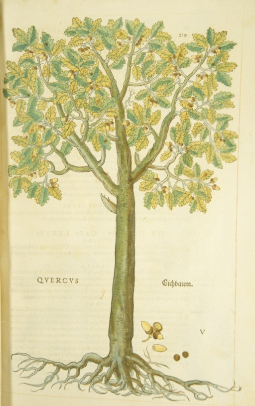 <p>Hand-colored woodcut of the oak tree.</p>