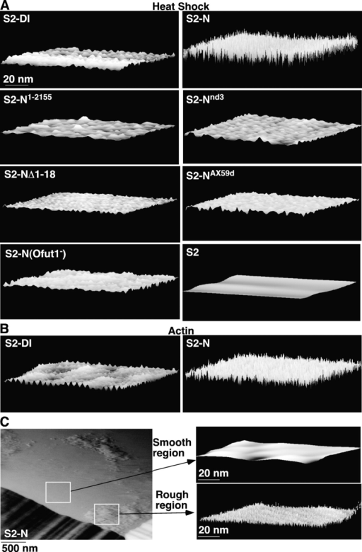 "Surface scans of cells expressing the different Notch receptors or Dl. (A) High-resolution AFM height images (100 × 100 nm; z range, 7 nm) of the surfaces of live heat-shocked S2 cell or S2 cells expressing the different proteins, scanned in 1× PBS+Ca2+. (B) Similar images of the surfaces of live S2 cells expressing Dl or N through the actin promoter. (C) Deflection images (z range, 16 nm) of the surface of an in situ ""heat-shocked"" S2-N cell. Higher resolution height images (100 × 100 nm; z range, 10 nm) on the right."