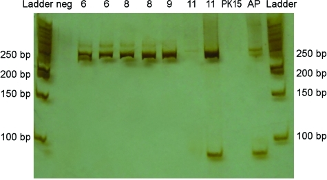 Polyacrylamide gel and silver staining of reverse transcription–PCR products from brains of piglets infected with porcine hemagglutinating encephalomyelitis coronavirus. Amplicons of ≈250 bp were found in brain samples from pigs 6, 8, 9, and 11 days of age. Neg, negative control (water + mastermix); PK15, amplification of PK15 cells inoculated with brain and tonsil from affected piglet; AP, asymptomatic piglet; and Ladder, 50-bp Fermentas.