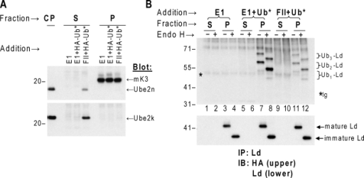 Membrane-bound E2s support the ubiquitination of the HC by mK3. (A) Mouse WT3 cells coexpressing WT Ld and mK3 were treated briefly with digitonin. The cytosolic proteins (CP) in solution and membrane proteins in the pellet were separated by centrifugation. The pellet was then suspended with reaction buffer containing an ATP-regenerating system. Three aliquots were made from this suspension and incubated with E1 only, E1 + HA-Ub (Ub*), or rabbit reticulocyte FII + Ub*, respectively, and followed by centrifugation. Samples from supernatant (S) and pellet (P) of each group as well as the cytosolic protein fraction were blotted by the antibodies indicated to verify the depletion of the cytosolic proteins and the maintenance of membrane proteins in the pellet. It should be noted that FII likely contains most soluble E2s; thus, the supernatant fraction with FII added is Ube2k and Ube2n positive. (B) Precipitations of Ld HCs from the supernatant or the pellet fractions of three reaction groups described in A were performed using anti-Ld mAbs. The precipitates were blotted for newly formed Ub-Ld conjugates with anti-HA. An anti-Ld blot was included to show similar input in each group and as an Endo H treatment control. Data shown are representative of three independent experiments. (A and B) Molecular mass is indicated in kilodaltons. IB, immunoblot; IP, immunoprecipitation.