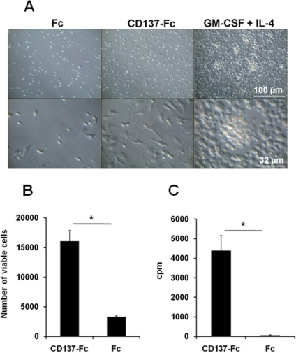 Activation of murine monocytes by recombinant CD137 protein.Monocytes were cultured under indicated conditions for 7 days. (A) Morphological changes were documented by photography at 20x (upper panel) and 63x (lower panel) magnifications. (B) Numbers of viable cells were determined by flow cytometry using Sphero Accucount Blank Particles. (C) Proliferation was determined by 3H-thymidine incorporation at 3 day of culture. *: p<0.05. Data are representative of three independent experiments.
