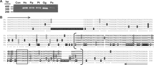 Species distribution of snaR genes. (A) Ethidium-stained agarose gel of bonobo (Pp), chimpanzee (Pt), gorilla (Gg), human 293 cell (Hs) and orangutan (Pa) genomic DNA after PCR amplification with primers specific for snaR flanking sequence. Note that the orangutan PCR fragment has slower migration because it is longer, and formed a weaker band because of a mismatch between the forward primer and the genomic sequence. (B) Clustal-W alignment of selected PCR clones: human (H3iii), gorilla (G1iii), bonobo (B1), chimpanzee (C1) and orangutan (O5iii) (Supplementary Data S1). snaR loci are bracketed; nucleotide heterogeneity is highlighted in gray and unique bases in black. Asterisks denote identity in all 5 Great Ape species; dots denote identity in the African Great Apes (orangutan excepted). Putative Pol III B-box is boxed. PCR priming sites are denoted by arrows.